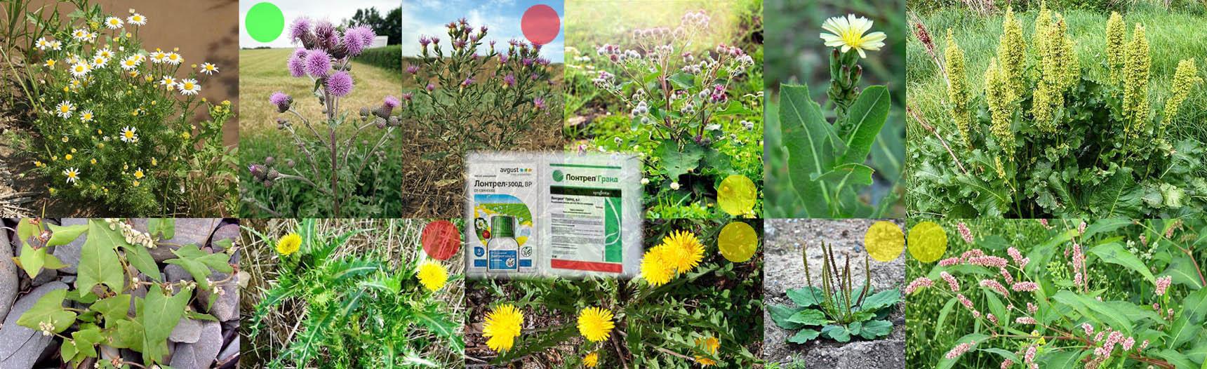 Сорняки, уничтожаемые гербицидом Лонтрел