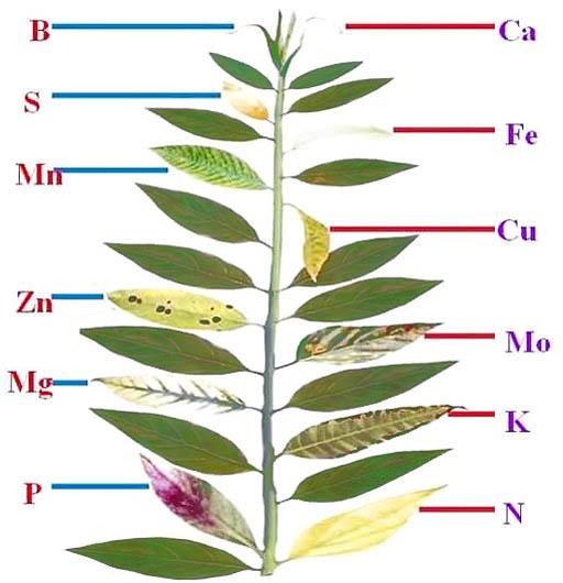 Виды хлорозов зеленых частей растений