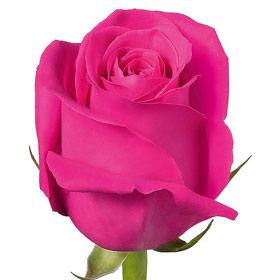 Роза Pink Floyd (сорт назван в честь легендарной блюз-рок группы)