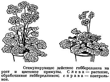 Действие гиббереллина на рост и цветение примулы