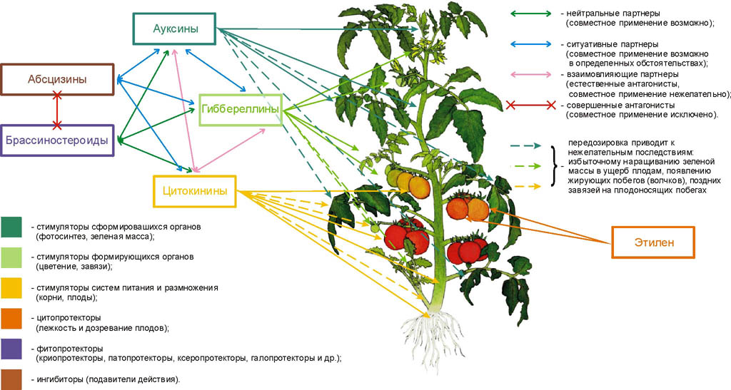 Действие фитогормонов на растения и взаимодействие их в растении