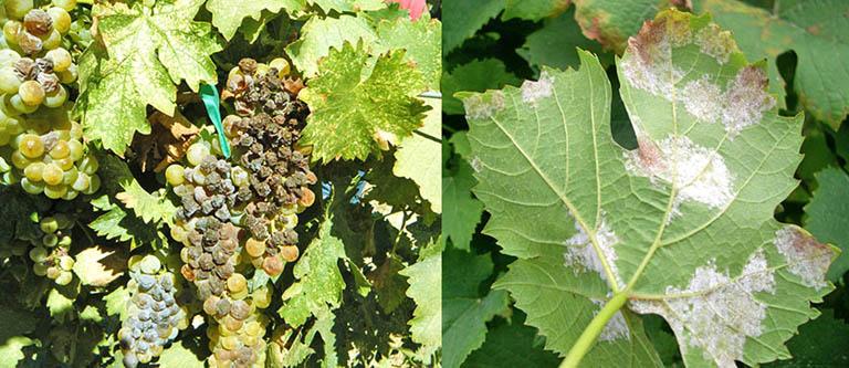 Ложная мучнистая роса винограда - милдью