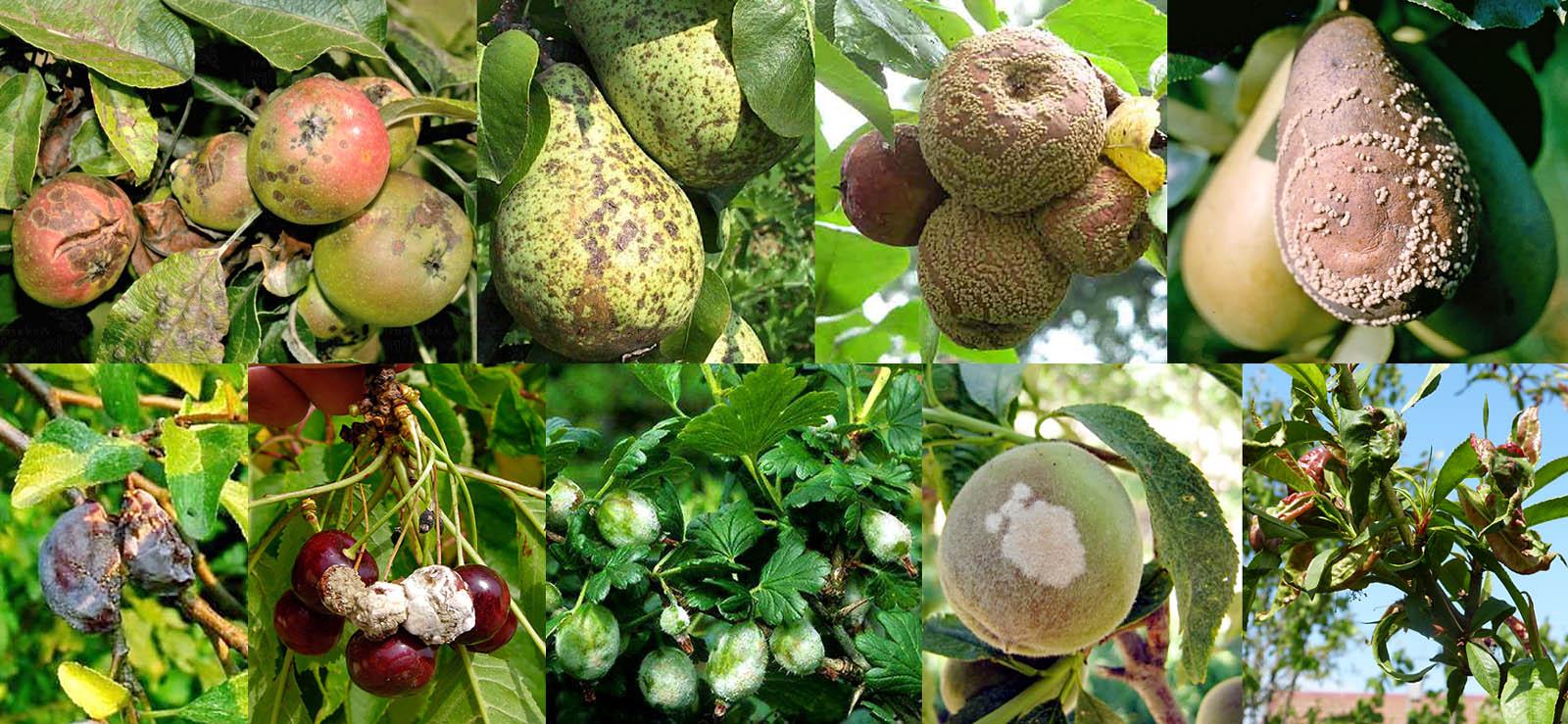 Признаки болезней плодовых растений, от которых помогает фунгицид Хорус