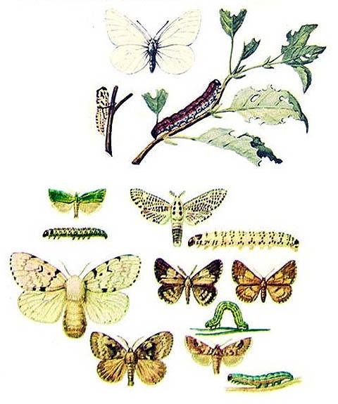 Вредоносные чешуекрылые, гусениц которых уничтожает препарат Лепидоцид