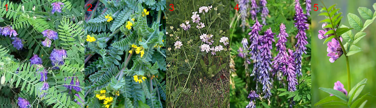 Бобовые растения, наиболее пригодные на зеленое удобрение