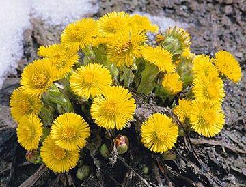 Цветы растения мать-и-мачеха