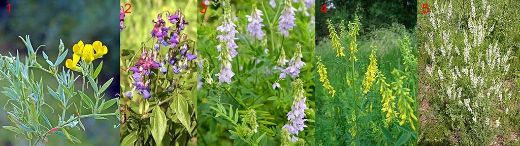 Растения, ограниченно пригодные на зеленое удобрение