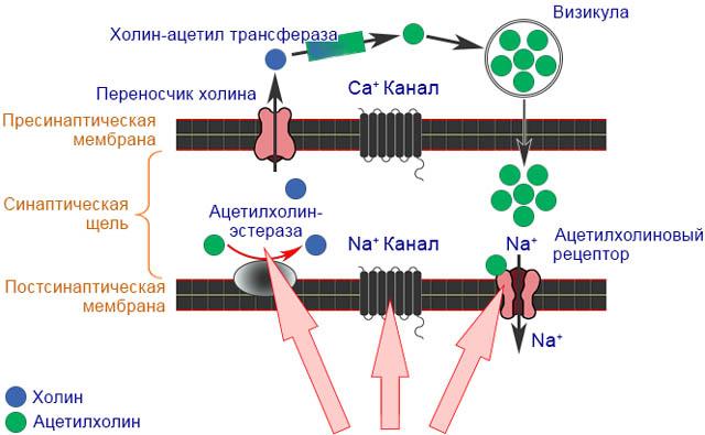 Механизм действия тиаметоксама на нервную систему насекомых