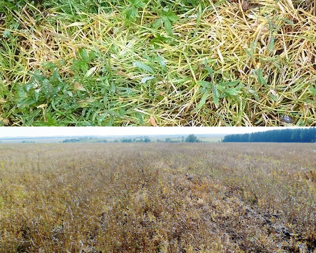 Результаты обработки сорняков быстрым гербицидом и медленным с аминокислотами