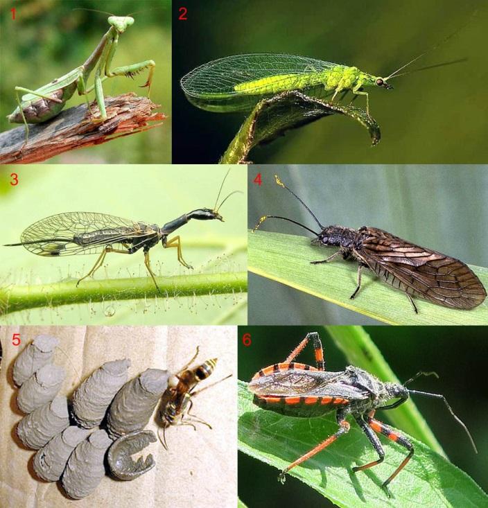 Полезные насекомые-энтомофаги