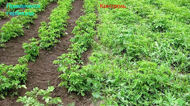 Выращивание картофеля с применением гербицидов и без них.