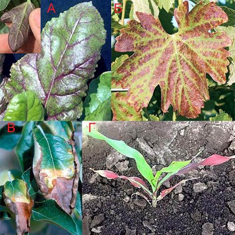 Признаки острого голодания растений на фосфор